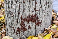 Los insectos rojos toman el sol en el sol en corteza de árbol Caliente-soldados del otoño para los escarabajos Foto de archivo