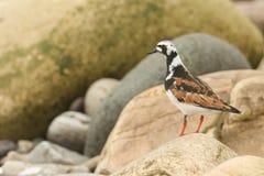 Los interpres de una arenaria del Turnstone en plumaje del verano se encaramaron en una roca en las Orcadas, Escocia Fotos de archivo libres de regalías