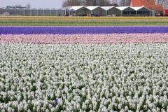 Los invernaderos acercan a los bulbos holandeses Fotos de archivo