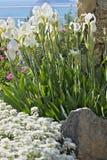 Los iris blancos se mueven debajo del viento foto de archivo libre de regalías
