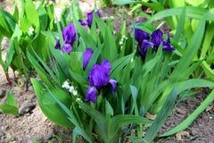Los iris y los lirios del valle en la primavera cultivan un huerto fotos de archivo