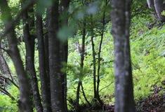 Los jóvenes asustaron gamuzas en el bosque en montañas Imagenes de archivo
