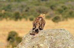los jóvenes guardan el águila imperial en la roca Fotografía de archivo libre de regalías
