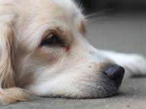 Los jóvenes hermosos del pelo largo blanco precioso lindo cruzan el perro Fotografía de archivo libre de regalías