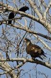 Los jóvenes se quedan calvo a Eagle Being Harassed por los cuervos americanos Imagenes de archivo