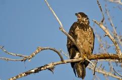 Los jóvenes se quedan calvo a Eagle Calling From High en un árbol estéril fotografía de archivo