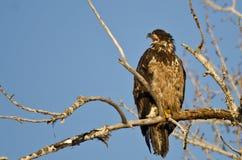 Los jóvenes se quedan calvo a Eagle Calling From High en un árbol estéril fotos de archivo