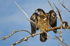 Los jóvenes se quedan calvo a Eagle Calling From High en un árbol estéril fotografía de archivo libre de regalías