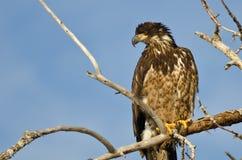 Los jóvenes se quedan calvo a Eagle Surveying el área mientras que están encaramados arriba en un árbol estéril Fotografía de archivo libre de regalías