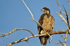 Los jóvenes se quedan calvo a Eagle Surveying el área mientras que están encaramados arriba en un árbol estéril Imagenes de archivo