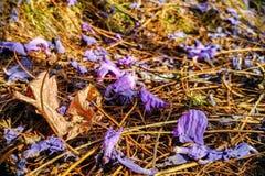 Los Jacarandas y las hojas se secan foto de archivo