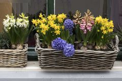 Los jacintos azules, blancos y rosados con los narcisos amarillos en cestas de mimbre adornan la ventana en Amsterdam en Holanda Fotos de archivo libres de regalías