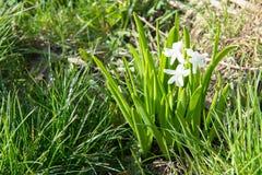 Los jacintos blancos, rosados y azules florecientes en primavera cultivan un huerto, las primaveras, fragancia floral de las flor Foto de archivo libre de regalías