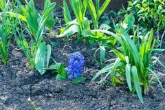 Los jacintos blancos, rosados y azules florecientes en primavera cultivan un huerto, las primaveras, fragancia floral de las flor Imagen de archivo libre de regalías
