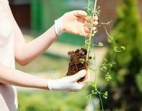 Los jardineros dan el establecimiento de las flores fotos de archivo