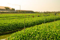 Los jardineros recogen verduras en el jardín de Tailandia Fotografía de archivo