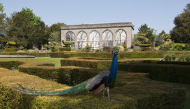 Los jardines y el naranjal del pavo real en el castillo de Warwick Imagenes de archivo