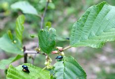 Los juegos de amor son escarabajos azules Imágenes de archivo libres de regalías