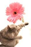 Los juegos del gato del gris Fotografía de archivo