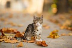 Los juegos hermosos del gatito con las hojas caidas Foto de archivo libre de regalías