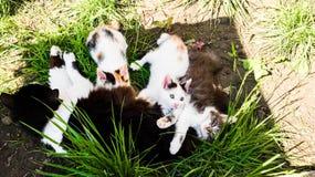 Los kittes de Sith Ger del gato de la madre foto de archivo libre de regalías