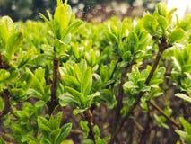 Los kleines Grün verlässt mit Regentropfen und kleinem spiderweb auf ihm Stockbild