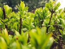 Los kleines Grün verlässt mit Regentropfen und kleinem spiderweb auf ihm Lizenzfreies Stockbild