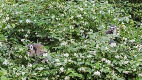 Los lémures anillo-atados, catta del lémur, en el árbol del flor en primavera Fotos de archivo libres de regalías
