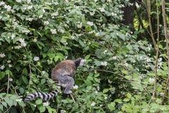 Los lémures anillo-atados, catta del lémur, en el árbol del flor en primavera Fotografía de archivo libre de regalías