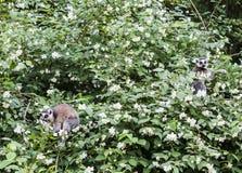 Los lémures anillo-atados, catta del lémur, en el árbol del flor en primavera Imagenes de archivo