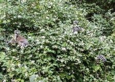 Los lémures anillo-atados, catta del lémur, en el árbol del flor en primavera Imágenes de archivo libres de regalías