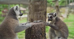 Los lémures comen en el parque zoológico El lémur come Comida de la toma de los lémures Los lémures divertidos comen la comida almacen de metraje de vídeo