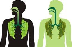 Los lóbulos del pulmón verde - respire profundamente Fotos de archivo