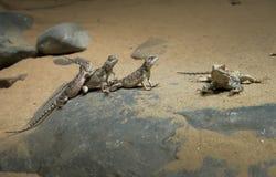 Los lagartos toman el sol en la arena Imagenes de archivo
