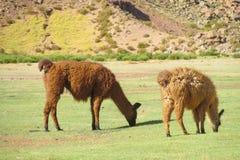 Los lamas comen la hierba Foto de archivo