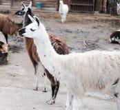 Los lamas viven en su pajarera en un parque zoológico al aire libre foto de archivo libre de regalías