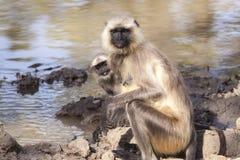 Los langurs grises indios o los langurs de Hanuman Monkey (Semnopithecus ent Imagen de archivo libre de regalías