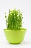 Los lanzamientos brotaron trigo en una taza verde Imágenes de archivo libres de regalías