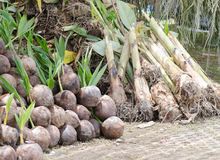 Los lanzamientos del plátano están brotando y árbol joven del coco fotografía de archivo