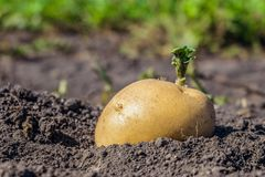 Los lanzamientos del verde de la patata siembran el primer en el huerto Tubérculo brotado de la patata fotos de archivo