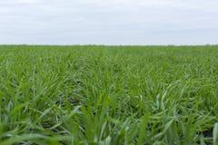 Los lanzamientos del verde del trigo y de la hierba crecen en el campo, otoño, agricultura, Rusia Fotografía de archivo libre de regalías