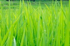 Los lanzamientos jovenes del arroz se van con descensos del agua en él Fotografía de archivo