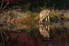 Los latrans del Canis del coyote giran la roca Imágenes de archivo libres de regalías