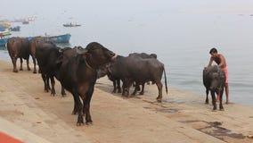 Los lavados de un hombre riegan búfalos
