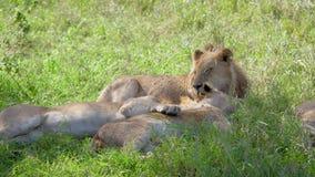 Los leones africanos mienten y descansan en la sombra de un árbol del acacia que se escapa del calor almacen de video