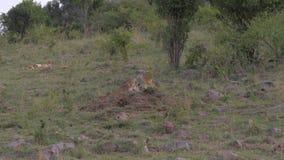 Los leones Cub mienten en descanso, mirada en la distancia, la sabana africana, 4K metrajes