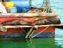 Los leones de mar de las Islas Gal3apagos se reclinan sobre el barco de pesca imagen de archivo