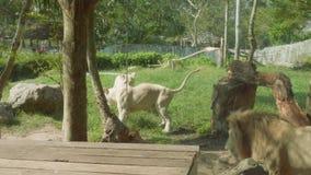 Los leones detrás del vidrio del cajón en Khao Kheow abren el parque zoológico almacen de video