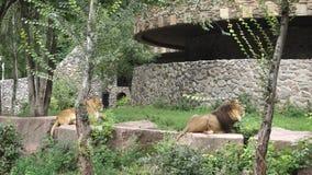 Los leones están descansando almacen de video