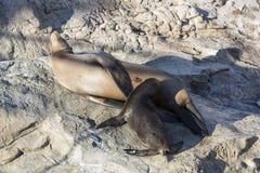Los leones marinos de California, perritos con la madre beben la leche, ingenio del sello Imágenes de archivo libres de regalías